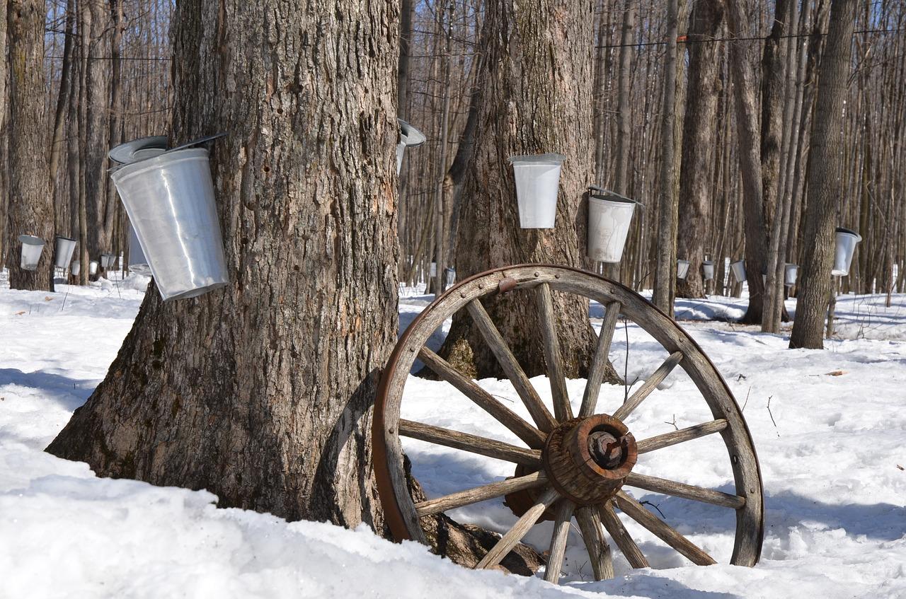 maple tree taps