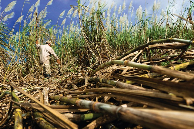 sugar cane, natural sugar cane