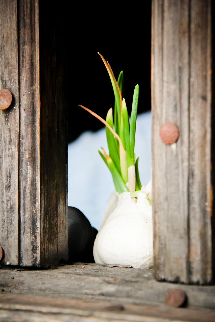 sprouted garlic, garlic benefits, garlic nutrition