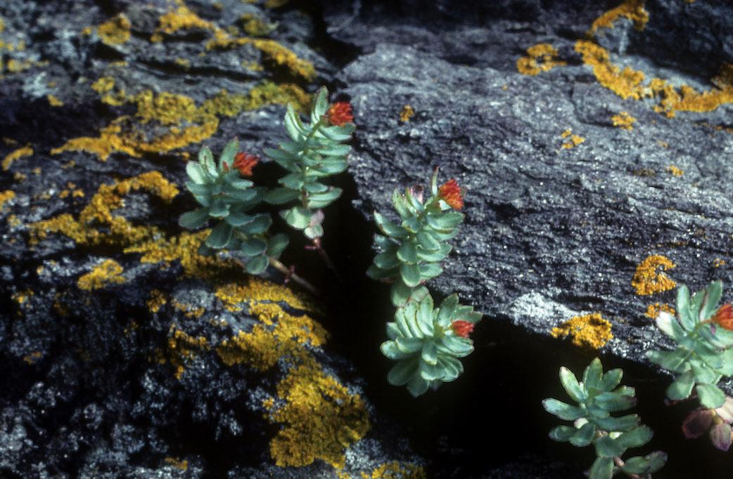 Rhodiola; Arctic Root; Roseroot; Arctic Rose; Hong jing tian; Rhodiola rosea; Sedum rosea